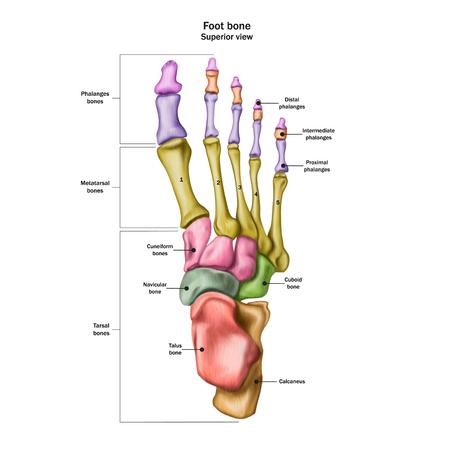 Huesos del pie humano con el nombre y descripción de todos los sitios. Vista superior. Anatomía humana. Ilustración de vector aislado sobre fondo blanco.