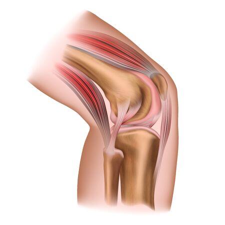 Le genou humain. Structure. Anatomie humaine. Illustration médicale isolée sur fond blanc. Vecteurs