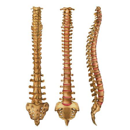 La columna vertebral humana. La columna vertebral. Columna vertebral. Lados anterior, posterior, lateral. Ilustración de vector aislado sobre fondo blanco.