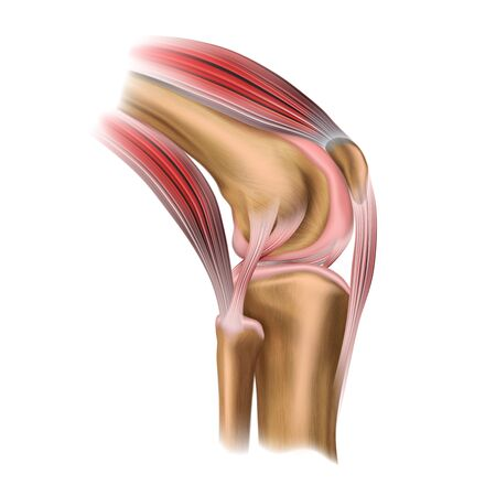 The structure of the human knee joint. Lateral view. Human anatomy. Medical science poster. Vector illustration isolated on white background. Ilustração