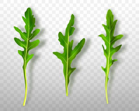 Green fresh rucola or arugula leaves isolated on transparent background Ilustrace