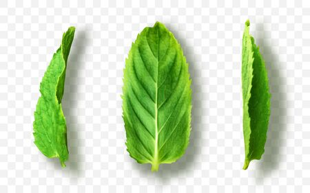 Vector fresh mint leaves on a transparent background 일러스트
