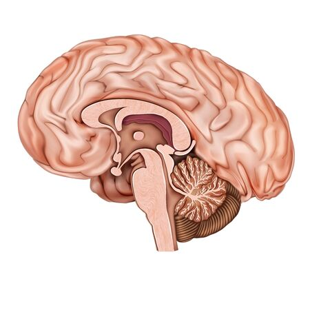 Sagittal section of the human brain. Structure of the human brain. Human anatomy. Medical 3d vector illustration isolated on white background.