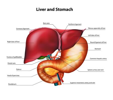 Anatomy of the liver and stomach. Vector realistic illustration. Vettoriali