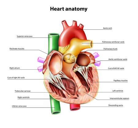 Anatomy of the heart. Section of the heart. Vector illustration. Vector Illustration