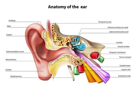 Anatomy of the ear. Vector illustration. Illustration