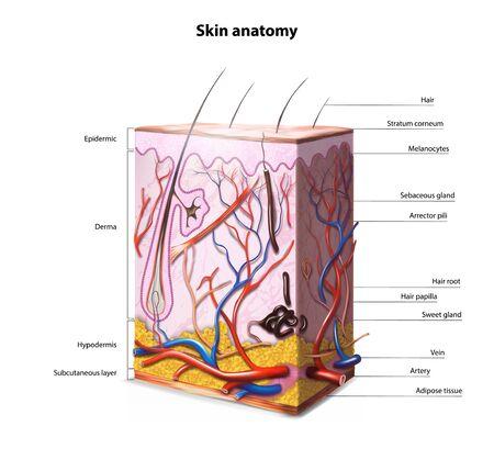 Anatomie der menschlichen Haut. Vektor-Illustration.