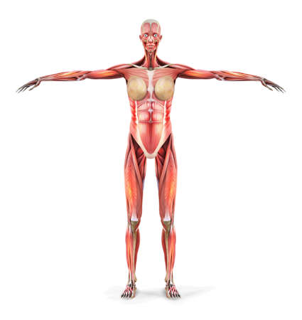 Human anatomy. Body muscles of a woman. Vector illustration.