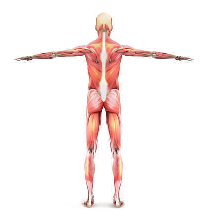Muscles of a man. Human anatomy from the back. Vector illustration.  イラスト・ベクター素材