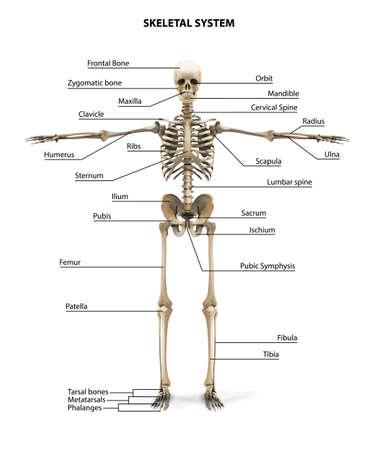 Human Skeleton Anatomy. Vector illustration. Ilustração Vetorial
