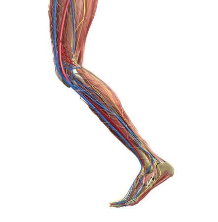 Leg muscles. Human leg anatomy. Vector medical illustration concept. Illustration