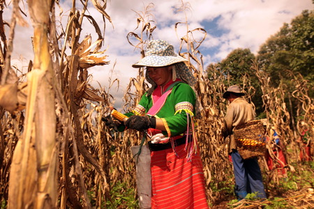 Traditionally dressed woman from a strain of Dara-Ang at harvest of corn cobs in a corn field when dof Chiang Dao north of Chiang Mai in northern Thailand