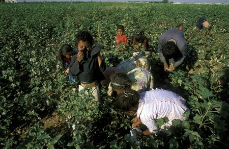 アラビアの中東のシリア北部アレッポで綿の収穫の子供たち 報道画像