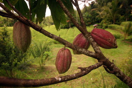 Cocoa fruit in a plantation in the central node of Bali on the island of Bali in Indonesia