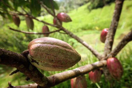 Cocoa fruits in a plantation in the central node of Bali on the island of Bali in Indonesia