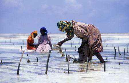 A woman who belongs in their work on the beach of Bwejuu on the east coast on the island of Zanzibar to Tanzania