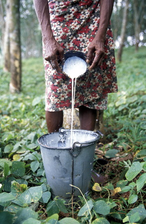 asien: Asien, Indischer Ozean, Sri Lanka, Eine Frau bei ihrer Arbeit in einer Kautschuk Plantage fuer die Porduktion von Gummi beim Kuestendorf Hikkaduwa an der Suedwestkueste von Sri Lanka. (URS FLUEELER)