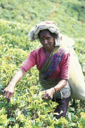 asien: Asien, Indischer Ozean, Sri Lanka, Eine Tamilische Frau beim pfluecken von Teeblaettern im Tee Anbaugebiet von Nuwara Eliya in Zentralen Gebierge von Sri Lanka. (URS FLUEELER)