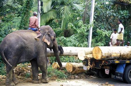 holz: Asien, Indischer Ozean, Sri Lanka, Ein Elefant hilft beim beladen einse Holz Transportes in der naehe von Nuwara Eliya in Zentralen Gebierge von Sri Lanka. (URS FLUEELER)        Editorial