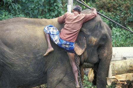 asien: Asien, Indischer Ozean, Sri Lanka, Ein Elefant hilft beim beladen einse Holz Transportes in der naehe von Nuwara Eliya in Zentralen Gebierge von Sri Lanka. (URS FLUEELER)        Editorial