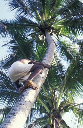 mann: Asien, Indischer Ozean, Sri Lanka, Ein Mann besteigt eine Kokos Palme, dies beim Kuestendorf Hikkaduwa an der Suedwestkueste von Sri Lanka. (URS FLUEELER)