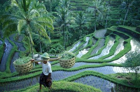 田んぼとインドネシア ・ バリ島で中心街にあるバリ島ウブドの北テガラランの棚田 報道画像