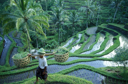 The rice fields and rice terraces at Tegalalang north of Ubud in central Bali on the island of Bali in Indonesia