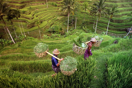 tegalalang: the Tegalalang rice terraces on Bali Island in indonesia