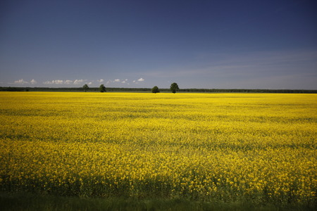 feld: a Raps field outside of the City Vilnius  in the Baltic State of Lithuania,