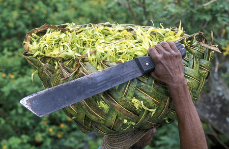 comores: a men with ylang ylang flowers on the Island of Anjouan on the Comoros Ilands in the Indian Ocean in Africa.