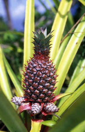 comores: pineaple plantation on the Island of Anjouan on the Comoros Ilands in the Indian Ocean in Africa.
