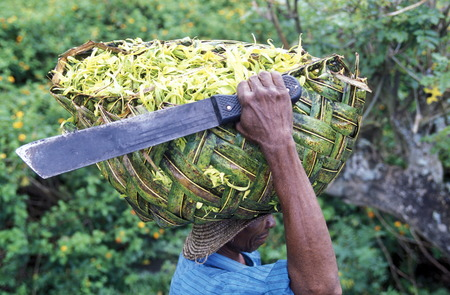 a men with ylang ylang flowers on the Island of Anjouan on the Comoros Ilands in the Indian Ocean in Africa.