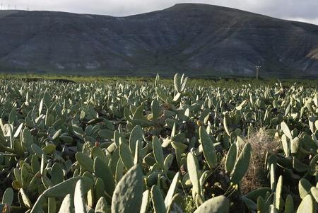 een cactus plantage in het dorpje Guatiza op het eiland Lanzarote op de Canarische Eilanden van Spanje in de Atlantische Oceaan. op het eiland Lanzarote op de Canarische Eilanden van Spanje in de Atlantische Oceaan.