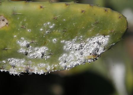 een cactusplantage in het dorp Guatiza op het eiland Lanzarote op de Canarische eilanden van Spanje in de Atlantische Oceaan. op het eiland Lanzarote op de Canarische eilanden van Spanje in de Atlantische Oceaan.