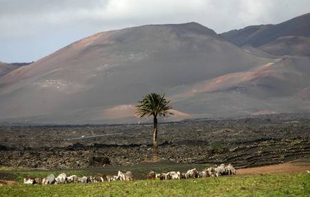 landschaft: The volcanic Hills and Palmtrees on the Island of Lanzarote on the Canary Islands of Spain in the Atlantic Ocean.