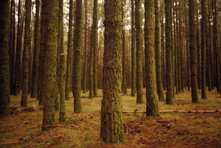 holz: a Forest in the centre of the Island of Tenerife on the Islands of Canary Islands of Spain in the Atlantic.