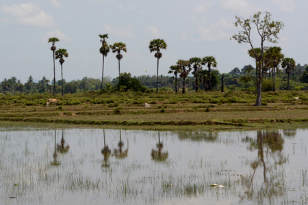 wasser: The Landscape with a ricefield near the City of Siem Riep in the west of Cambodia. Editorial