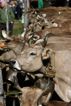 orta: the traditional cow Farmer Market in the Village of Armeno near the Fishing Village of Orta on the Lake Orta in the Lombardia in north Italy. Editorial