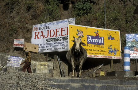 uttar pradesh: a cow and promotion of ice cream at the Ganges River in the town of Rishikesh in the Province Uttar Pradesh in India.