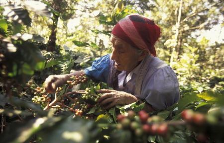 中央アメリカのグアテマラのアンティグア近くフィンカのコーヒー プランテーション。 報道画像