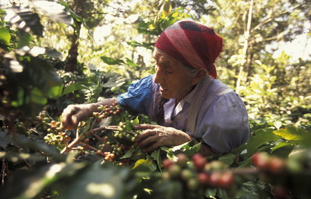 Een koffieplantage van finca in de buurt van de stad Antigua in Guatemala in Midden-Amerika. Stockfoto - 32661056