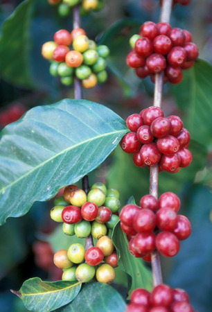 a coffee plantation neat the city of Antigua in Guatemala in central America.
