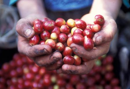 een koffieplantage nette de stad Antigua in Guatemala in Midden-Amerika. Stockfoto