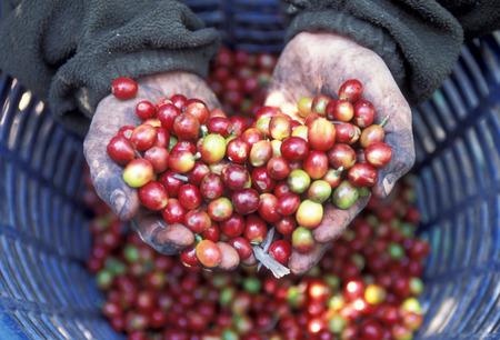 antigua: a coffee plantation neat the city of Antigua in Guatemala in central America.