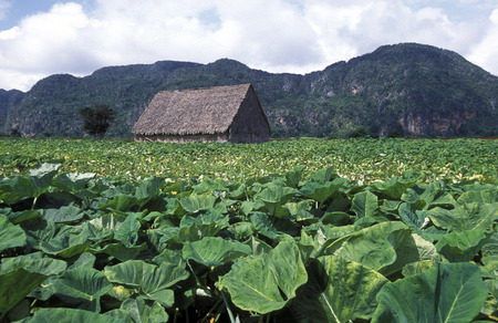 landschaft: the landscape near the village of Vinales on Cuba in the caribbean sea.