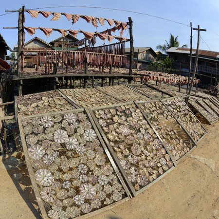 dry fish: a fish production make dry fish products in the city of Myeik in the south in Myanmar in Southeastasia. Editorial