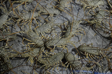 factory farm: a Lobster Farm in the city of Myeik in the south in Myanmar in Southeastasia. Stock Photo