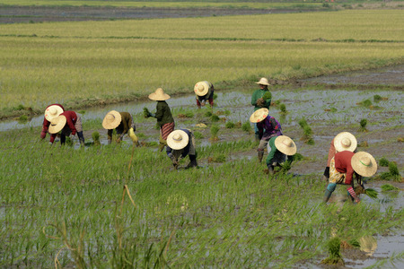 ricefield: Rice farmers plant rice in a ricefield at the city of Nyaungshwe at the Inle Lake in the Shan State in the east of Myanmar in Southeastasia. Editorial
