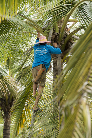 tha: a Palm sugar Plantation in the Town of Tha Kha in the Province Samut Songkhram west of the city of Bangkok in Thailand in Southeastasia.