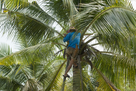 th� ¨: a Palm sugar Plantation in the Town of Tha Kha in the Province Samut Songkhram west of the city of Bangkok in Thailand in Southeastasia.